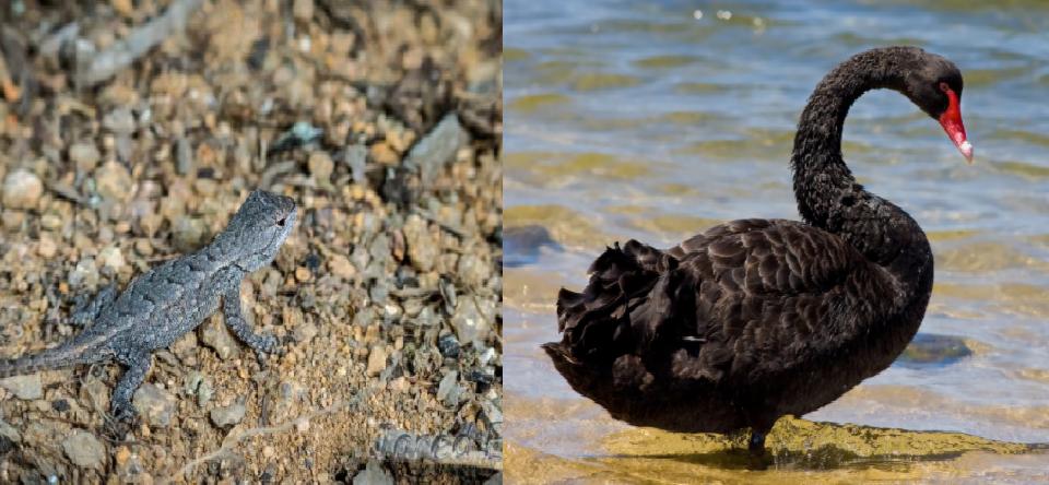 Nigeria's Gray Lizard; America's Black Swan